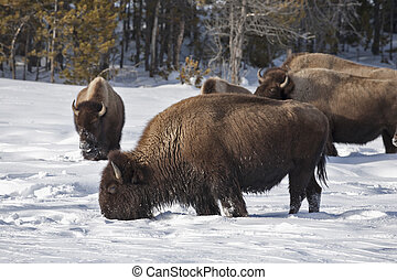 Bison, Winter, Yellowstone NP, WY