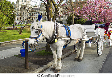 Horse and Cart in Victoria Canada - White horse with cart...
