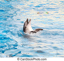 Bottle-nosed dolphin - Performing bottle-nosed dolphin in...