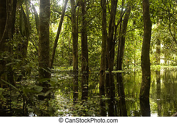 Amazon Rainforest Swamp - Afternoon sun shining into an...