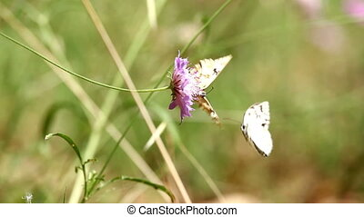Two butterflies fighting