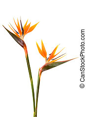 Bird of paradise flower Strelitzia reginae isolated on white...