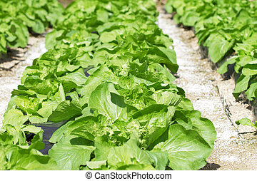 Bed with a green salad. The concept of gardening. Low depth...