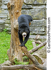 Sun Bear - The sun bear Ursus malayanus, also known as the...