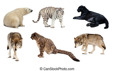 Set of Carnivora mammal Isolated over white background with...