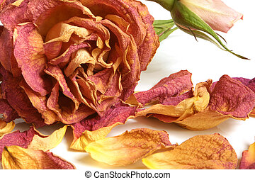 Dry red rose with petals