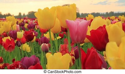 Tulip Festival in Woodburn Oregon - Tulip Flowers in...