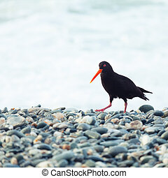 Variable Oystercatcher - The Variable Oystercatcher...