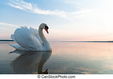 swan on blue lake water in sunny day, swans on pond, nature...