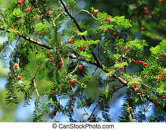 European Yew - Taxus baccata European Yew - flora in Poland...