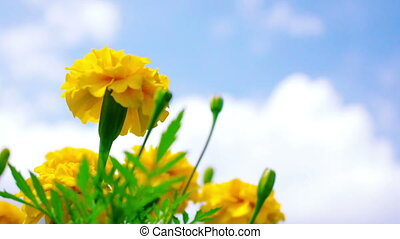 Yellow Marigold Flowers blown in the wind against blue sky.