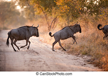 Two BLUE WILDEBEEST Connochaetes taurinus crossing a road