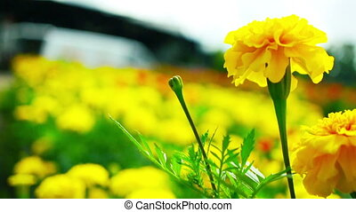 Yellow Marigold Flowers - Yellow Marigold field with house...
