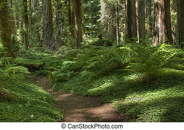 Redwood Path with Ferns - Path through redwood forest along...