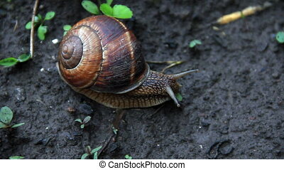 Snail - Vine snail travel time-lapse