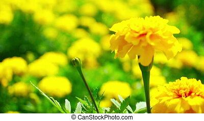 Yellow Marigold Flowers - A field of Yellow Marigold Flowers