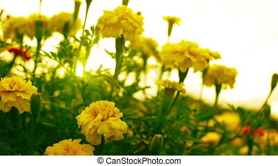 Yellow Marigold Flowers - A field of Yellow Marigold Flowers...
