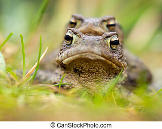 Portait of a couple of Common Toad (Bufo bufo) during spring...
