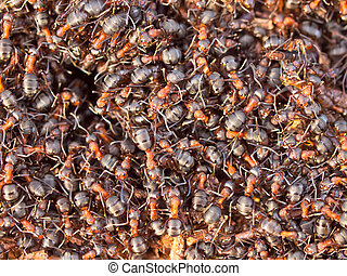 Red Ant colony - Background of a Red Ant colony Formica rufa...