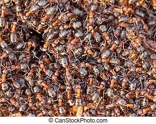czerwony, mrówka, kolonia