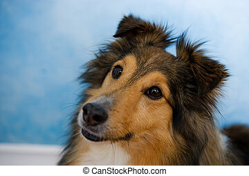 Sheltie - Image of a beautiful Sheltie on bluosh background