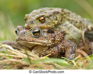 mating Common Toad