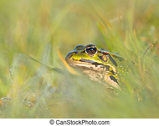Curious green frog
