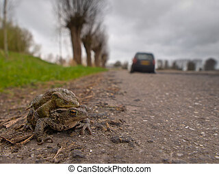 Mating toad are crossing a road - A pair of mating European...