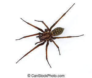 Tegenaria spider on white - Giant scary house spider...