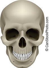 Human skull, front view. Digital illustration on white