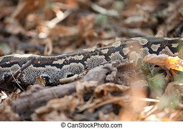 Python among leaves - AFRICAN ROCK PYTHON (Python sebae...
