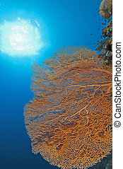 Gorgonian fan coral on a reef wall - Large gorgonian fan...