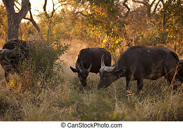 African buffalo - AFRICAN BUFFALO (Syncerus caffer) near...