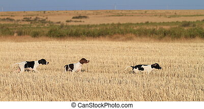 pointer pedigree dogs
