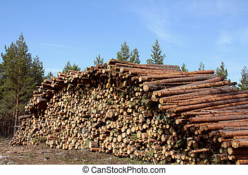 Stack of wooden logs in pine forest at spring Photographed...