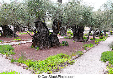 The ancient olive tree  in Gethsemane Garden in Jerusalem
