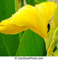 Yellow Blossom - Beautiful yellow flower with waterdroplets...