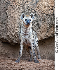 spotted hyena - A spotted hyena, warily watching to camera