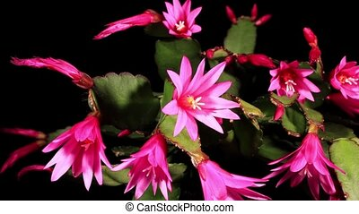 Epiphytic cactus bloom on the black background...