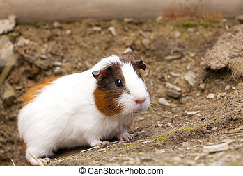 Guinea Pigs - Close up of a free funny guinea pigs