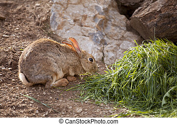 Wild rabbit - Brown wild rabbit eating grass in the field