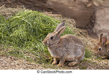 Wild rabbit - Brown wild rabbit eating grass in the field