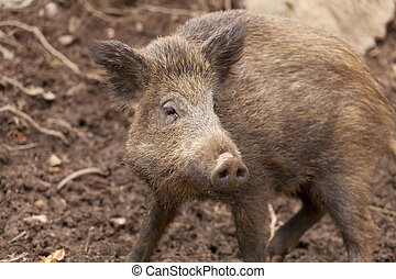 Wild boar - Closeup of a beautiful specimen of wild boar