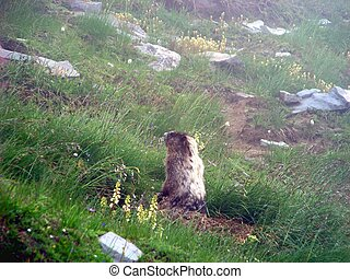 Hoary Marmot - A Hoary Marmot emerges from his den on a...