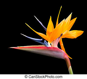 Isolated shot of bird of paradise flower path - Cut out...