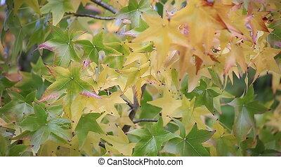 liquidambar fall leaves