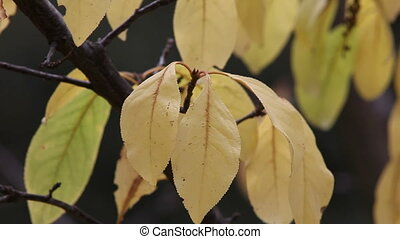 yellow fall leaves - close-up of plum tree leaves in autumn