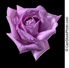 pink rose flower - rose flower in black back