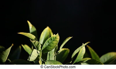 citrus leaves - leaves of a lemon tree against a dark...