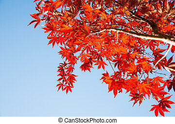 Red leaves - Red maple leaves, against blue sky.